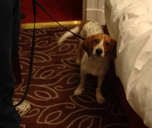 bed bug sniffing dog.