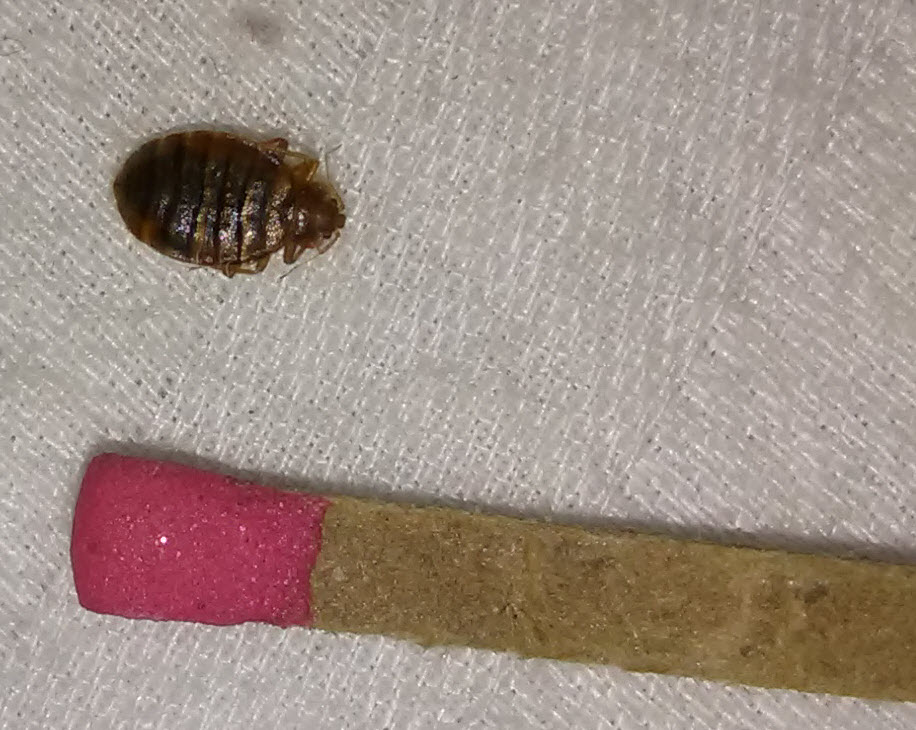 bed bug near a match.