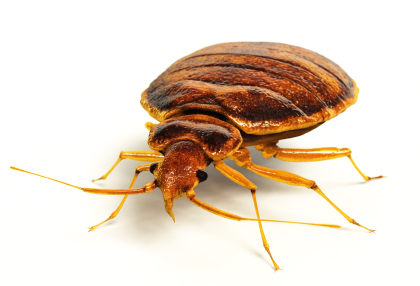bed bug front view.