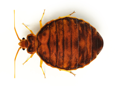 bed bug top profile.