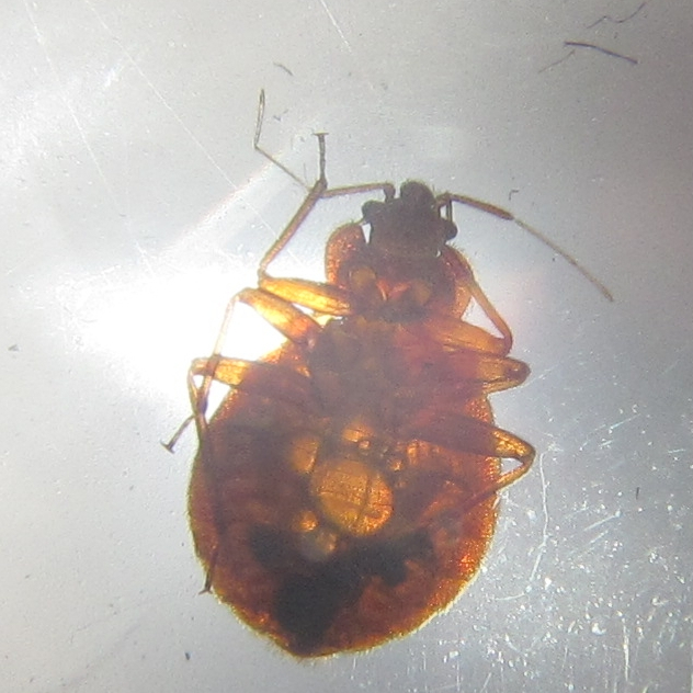bed bug appearance
