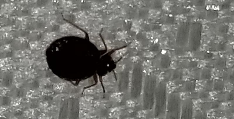 close up of bedbug on a mattress.