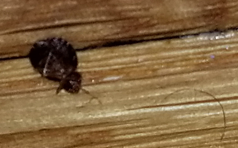 bed bug on wood.