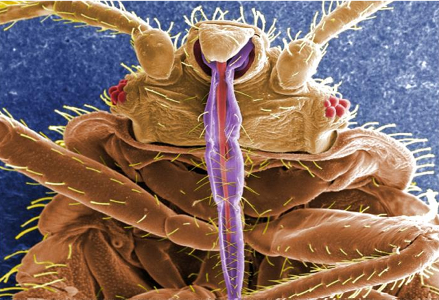 bed bug up close