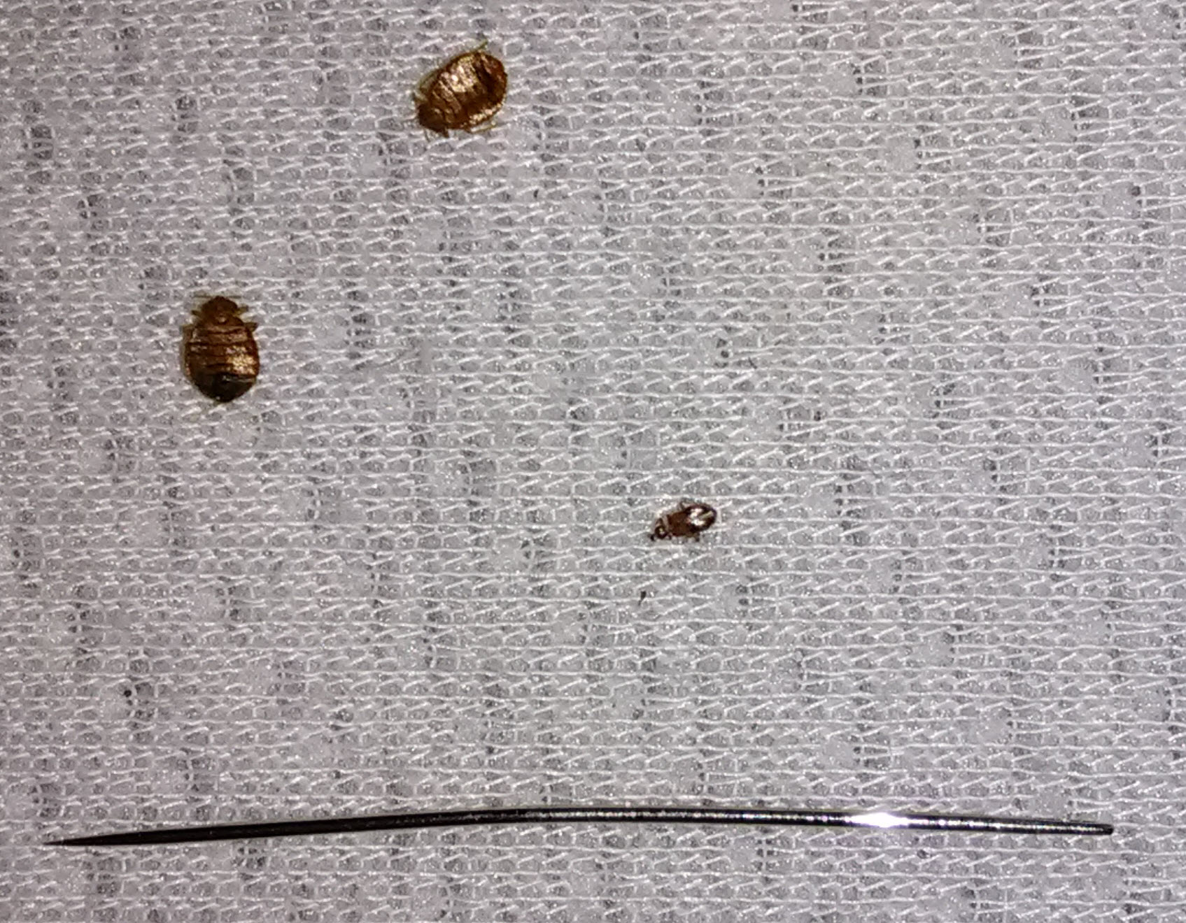 three bed bugs near a pin.